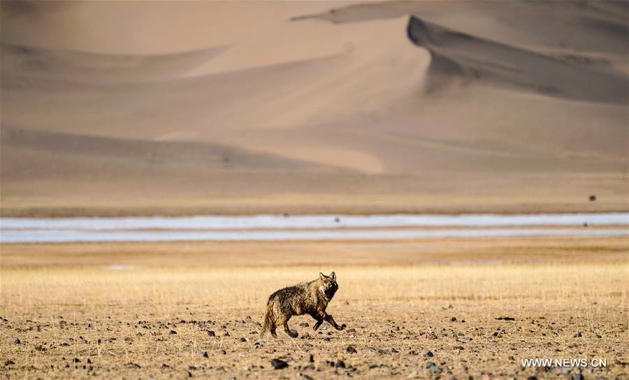 A wolf gallops in the Altun Mountains National Nature Reserve in northwest China's Xinjiang Uygur Autonomous Region, April 2, 2018. (Xinhua/Jiang Wenyao)<br/>