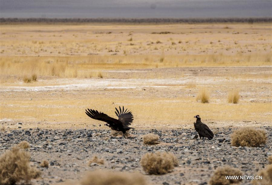 Two vultures are seen in the Altun Mountains National Nature Reserve in northwest China's Xinjiang Uygur Autonomous Region, April 2, 2018. (Xinhua/Jiang Wenyao)<br/>