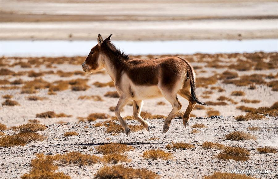 A galloping kiang (Equus kiang) is seen in the Altun Mountains National Nature Reserve in northwest China's Xinjiang Uygur Autonomous Region, April 1, 2018. (Xinhua/Jiang Wenyao)<br/>