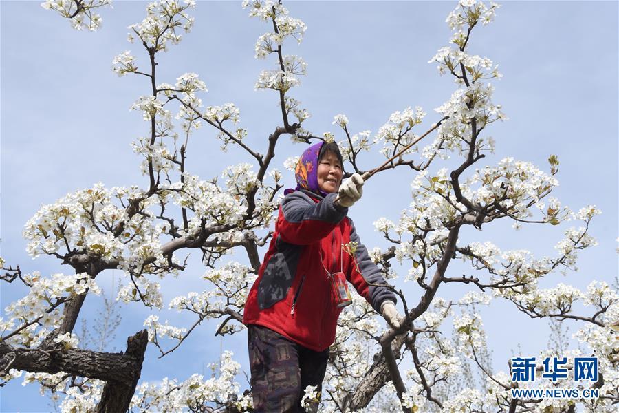 <br/>   河北省河间市龙华店乡兴隆店村果农在梨园为梨花授粉。