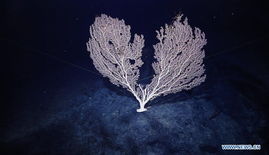 Photo taken on April 11, 2018 shows the coral on Magellan Seamounts in the west Pacific. Chinese scientists on board research vessel Kexue, or &quot;Science&quot; literally, conducted research on the Magellan Seamounts in the west Pacific. (Xinhua/Zhang Jiansong)<br/>