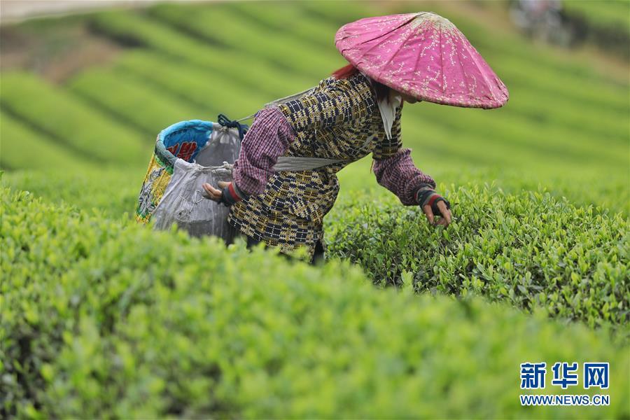 <br/>   4月11日,一名茶农在贵州湄潭永兴镇&amp;ldquo;万亩茶海&amp;rdquo;中采茶。<br/>