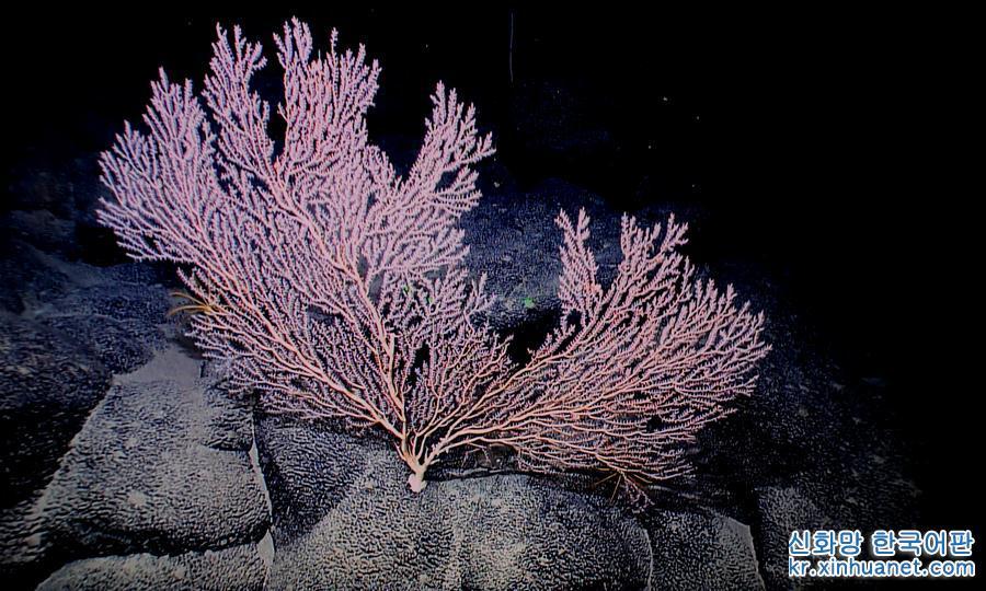 마젤란 해산에 있는 거대한 대나무 산호(4월 8일 촬영). 대양 깊은 곳에 있는 해산을 &amp;lsquo;해저 정원&amp;rsquo;이라고도 부른다. 최근, 중국 &amp;lsquo;커쉐(科學)&amp;rsquo;호 과학탐사선에 탑재한 &amp;lsquo;파센(發現)&amp;rsquo;호 심해 로봇은 서태평양 마젤란 해산을 여러번 탐사하면서 웅장하고 수려한 &amp;lsquo;산의 경치&amp;rsquo;를 &amp;lsquo;생중계&amp;rsquo; 했다. [촬영/ 신화사 기자 장젠쑹(張建松)]<br/>