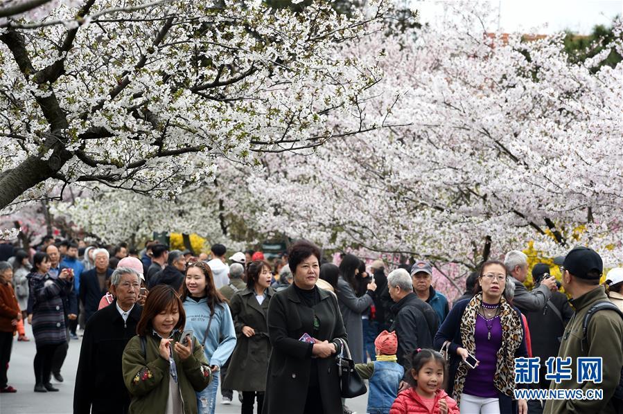 4月13日,游客在青岛中山公园赏花。近日,山东青岛中山公园樱花进入盛花期,吸引众多游客前来踏春赏花。