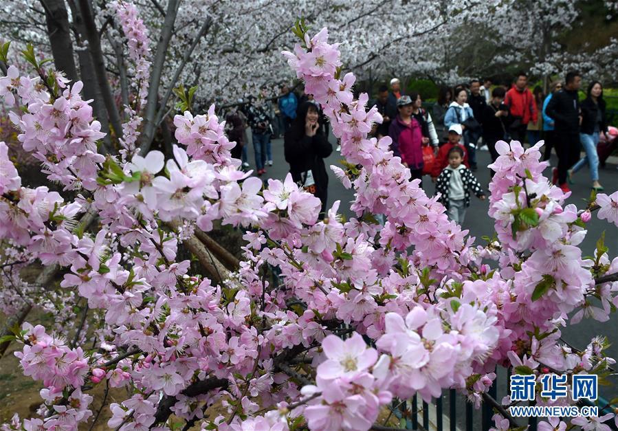 4月13日,游客在青岛中山公园赏花。近日,山东青岛中山公园樱花进入盛花期,吸引众多游客前来踏春赏花。<br/>