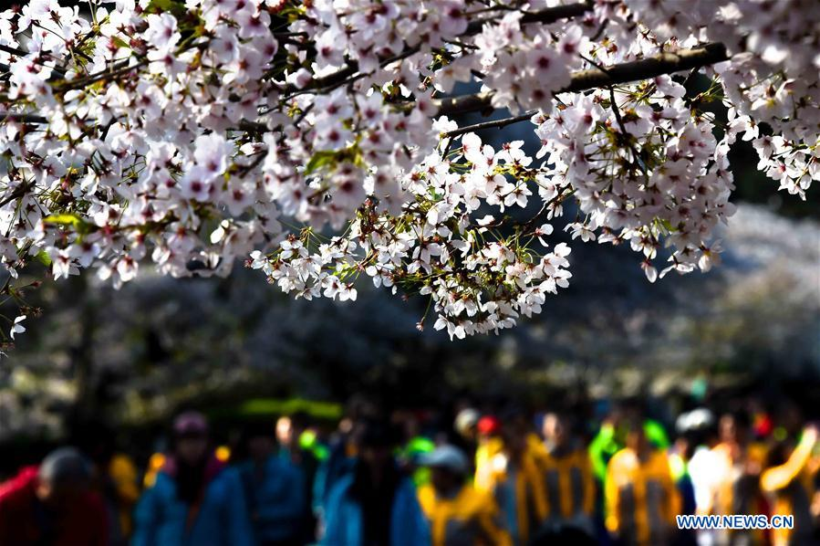 Citizens view the cherry blossoms during a flower appreciation event at Zhongshan park in Qingdao, east China's Shandong Province, April 17, 2018. (Xinhua/Li Ziheng)<br/>