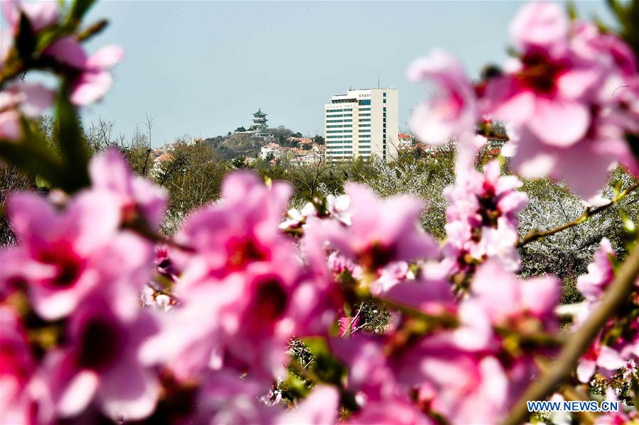 Aerial photo taken on April 17, 2018 shows the peach blossoms in Zhongshan park during a flower appreciation event in Qingdao, east China's Shandong Province. (Xinhua/Guo Xulei)<br/>