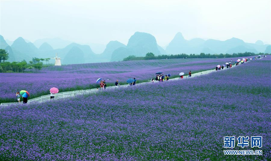 4월 29일 광서(廣西) 래빈(來賓)시 흔성(忻城)현 라벤더장원은 관광객들의 발길을 모았다.<br/>