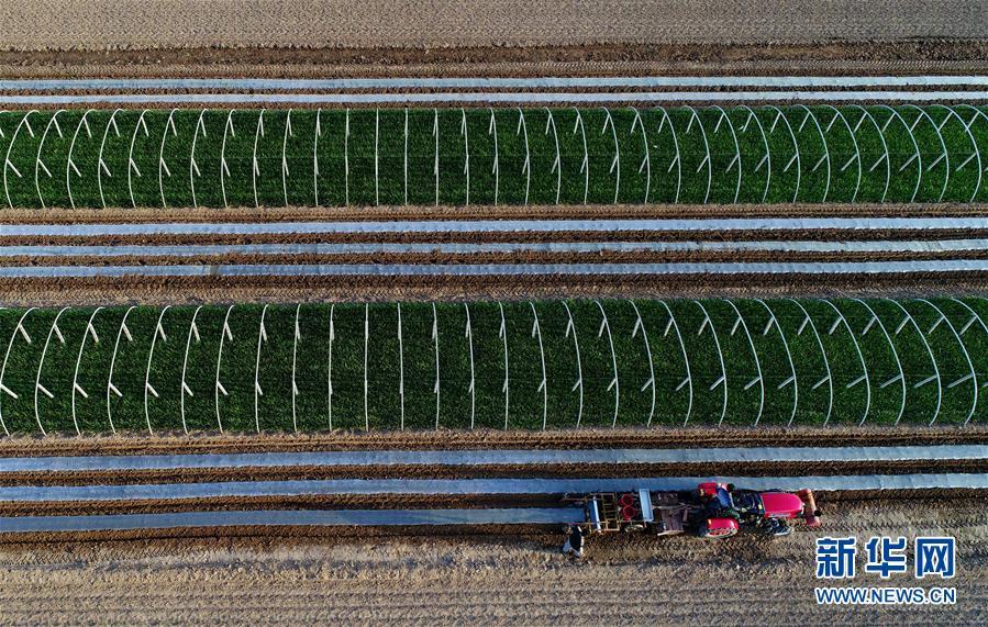 하북성(河北省) 악정현(樂定縣)의 농부가 기계설비를 이용하여 땅콩을 파종하고 있다.<br/>