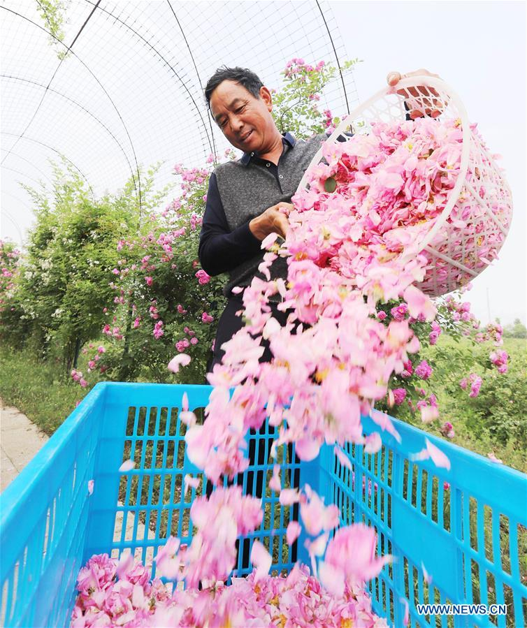 <br/>A farmer picks roses in the field at Shizhuang Village of Hai'an County, east China's Jiangsu Province, May 14, 2018. (Xinhua/Xiang Zhonglin)<br/>