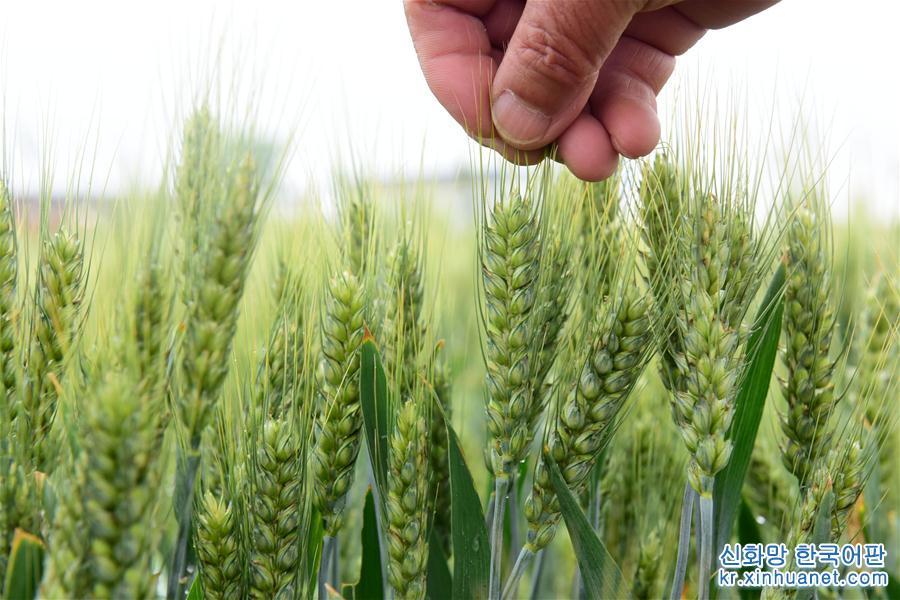 5월21일은 24절기 중 여덟 번째 절기 소만(小滿)이다. 본격적인 농사철이 시작되면서 농민들은 논밭에서 바쁜 하루를 보냈다. [촬영/신하사 기자 자민제(賈敏傑)]<br/>