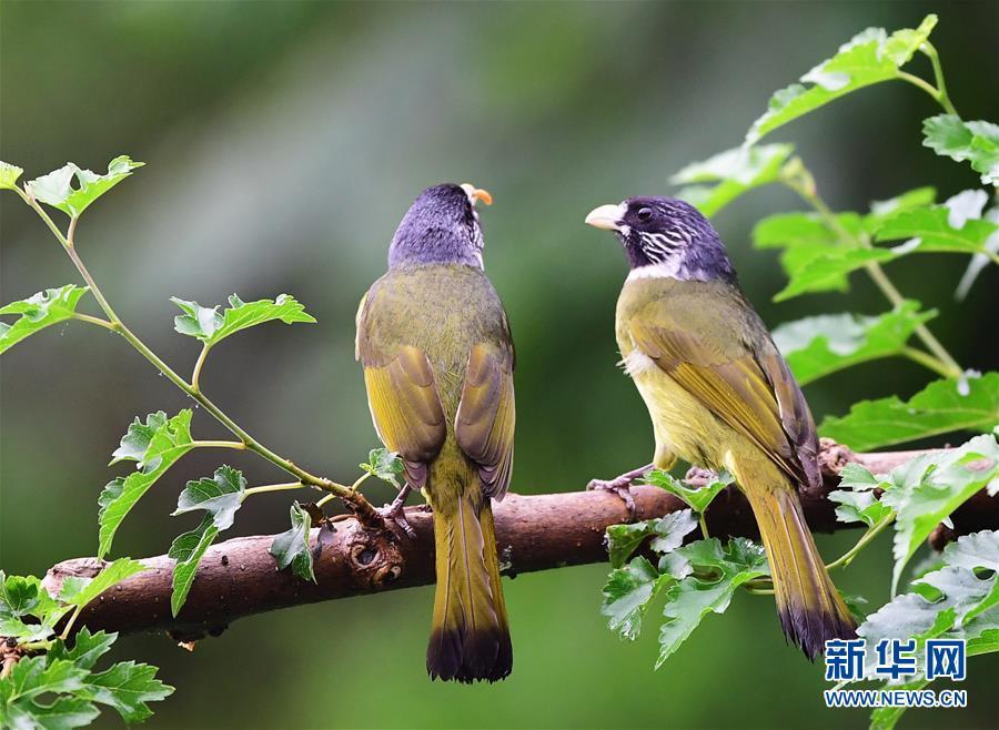 5月17日,两只领雀嘴鹎在山东省济南市长清区张夏街道梨枣峪村的一山坡树枝上觅食。