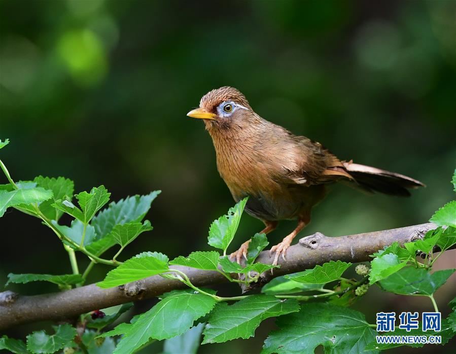 5月18日,一只画眉鸟在山东省济南市长清区张夏街道的一山坡上觅食。<br/>