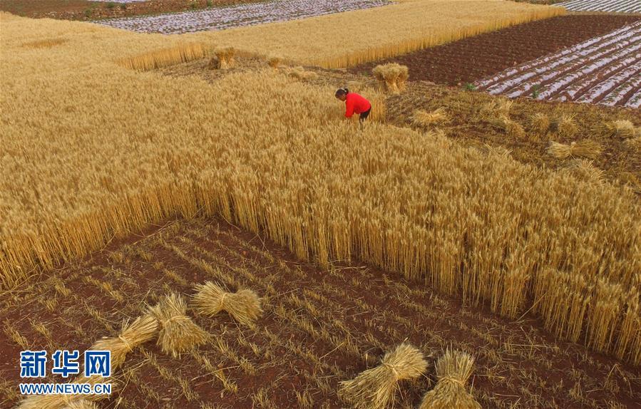 <br/>  小满节气过后,多地小麦陆续成熟,农民抓紧农时,开镰收割,确保颗粒归仓。<br/>