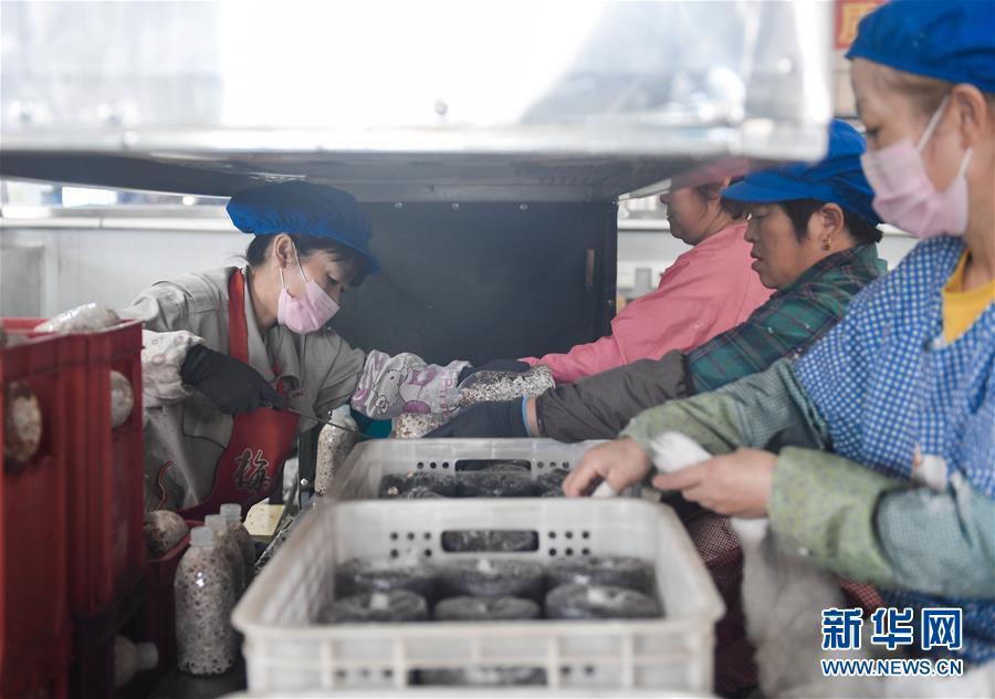 왕청현 천교령진 농민들이 현지의 식용균공장에서 목이 버섯 접종작업을 진행하고 있다.<br/>