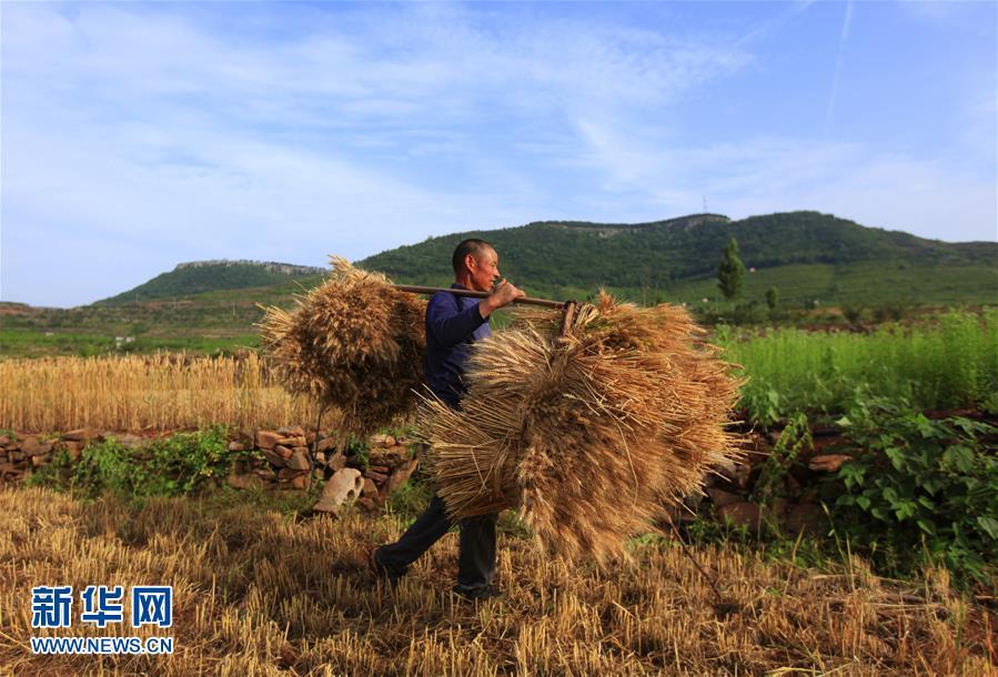 5月23日,一名农民在山东省临沂市新庄镇的山地梯田里挑运收割的小麦。