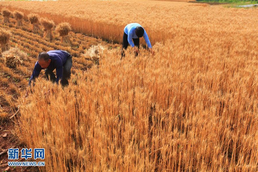 5月23日,农民在山东省临沂市新庄镇的山地梯田里收割小麦。<br/>