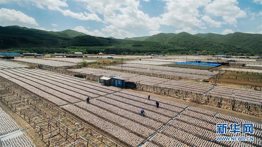 왕청현 천교령진 구산촌의 농민들이 밭에서 식용균 주머니를 관리하고 있다.<br/>