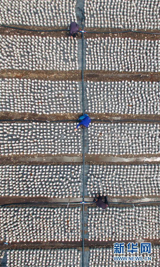 왕청현 천교령진의 농민들이 현지의 한 식용균 공장에서 분주히 일하고 있다.<br/>  허창(許暢) 신화사기자가 5월 24일 무인기로 촬영<br/>  길림성 연변조선족자치주 왕청현은 장백산 동쪽 기슭에 위치해 있으며 길림성에서 확정한 제1진의 빈곤 현이다. 최근 년간 왕청현은 역내의 자연환경 우세에 힘입어 농민들을 인도해 식용균 버섯 재배를 진행해 빈곤구제의 새로운 길을 열어가고 있다. 왕청현에서는 4만명에 달하는 농민들이 목이 버섯 재배에 종사하고 있는데 목이 버섯의 년간 생산량은 4만7천5백톤, 소득은 34억원에 달한다. 이로써 9000여명 인구가 평균 1000원 이상의 수입을 더 늘리게 되었다.<br/>