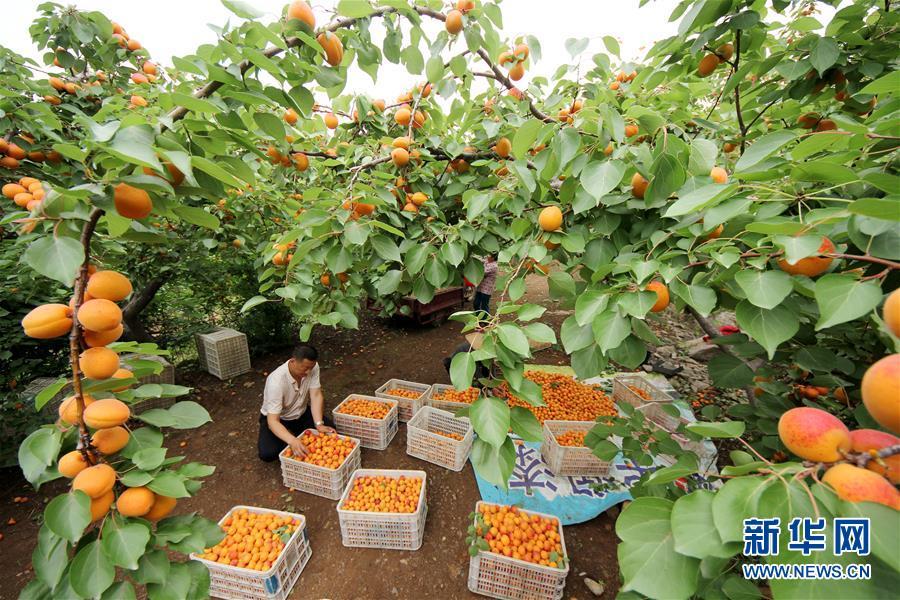 5月27日,山东省枣庄市阴平镇石头楼村的果农在杏园分拣鲜杏。