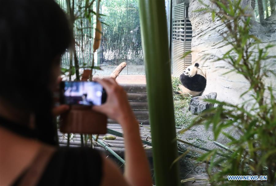 A guest takes photos of giant panda Jiaoqing at Berlin Zoo in Berlin, Germany, June 9, 2018. Mengmeng and Jiaoqing, the two pandas from China, arrived in Berlin on June 24, 2017. They became superstar during their first-year's stay here in Berlin Zoo. (Xinhua/Shan Yuqi)<br/>