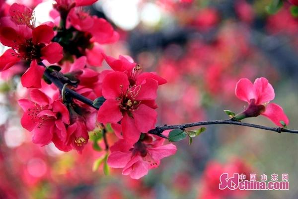 Linyi to host crabapple cultural tourism festival