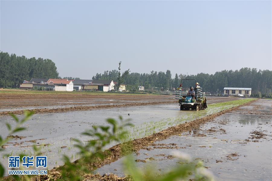 6月24日,沂南县黑土湖农机化服务专业合作社的工人驾驶插秧机在田间劳作。<br/>