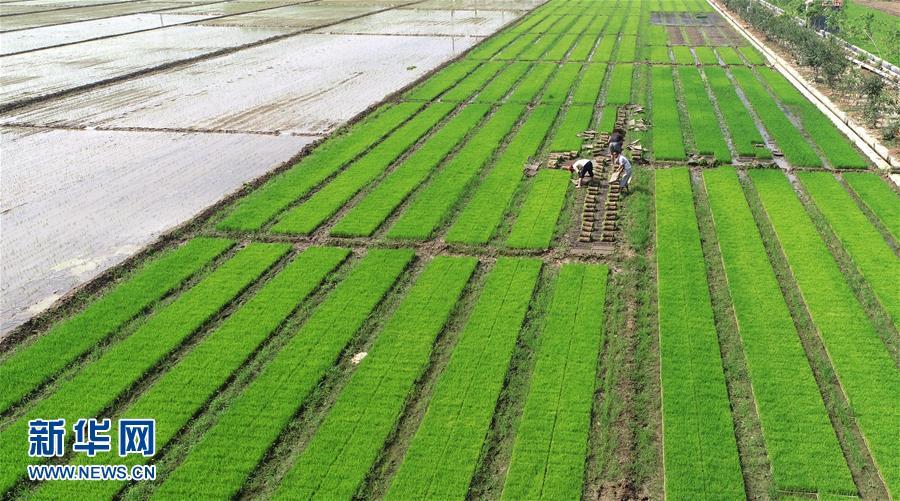 6月24日,沂南县黑土湖农机化服务专业合作社的工人在田间整理水稻育苗盘(无人机拍摄)。