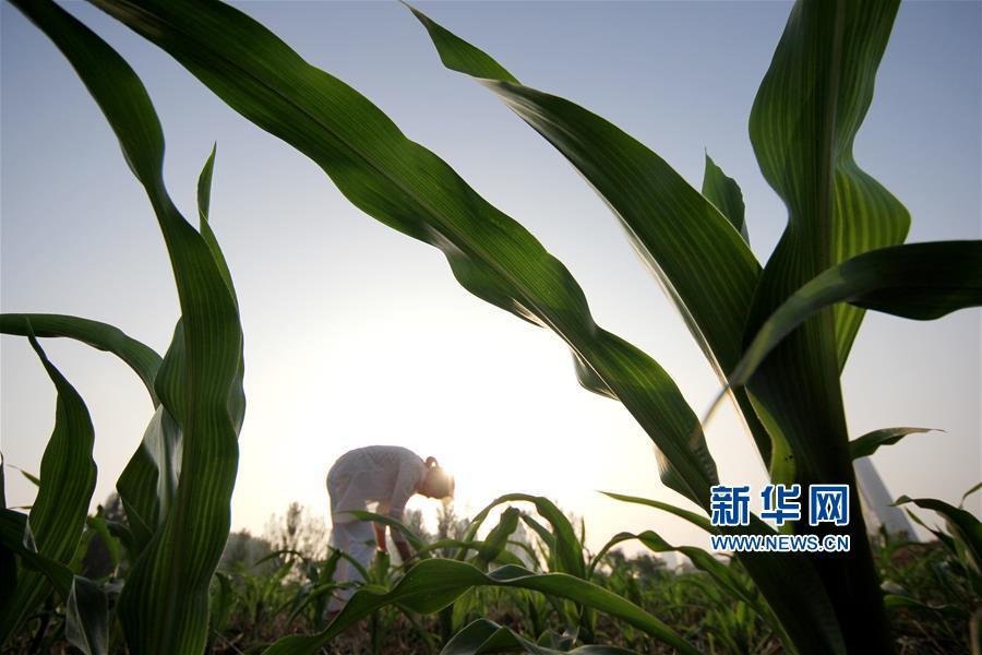 7月7日,山东省枣庄市永安镇黄庄村农民在田间劳作。