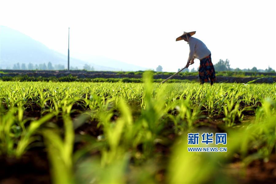 7月7日,山东省枣庄市山亭区火石沟村农民在谷子地里间苗。<br/>