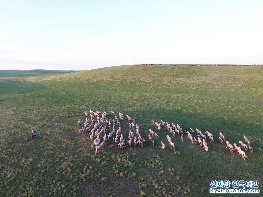 시우주무친치(西烏珠穆沁旗)의 목축민이 초원에서 말떼를 몰아가고 있다(7월 22일 드론 촬영). 시린궈러(錫林郭勒) 대초원에 위치한 네이멍구(內蒙古)자치구 시우주무친치는 아주 긴 백마 번식 역사를 가지고 있다. 시우주무친치 목축민은 관광 시즌이 한창인 이곳에 찾아온 관광객들을 앞에 두고 초원에서 말을 다루며 멋지고 시원시원한 몽골족의 초원 민속문화를 보여주었다. [촬영/ 신화사 기자 류레이(劉磊)]<br/>