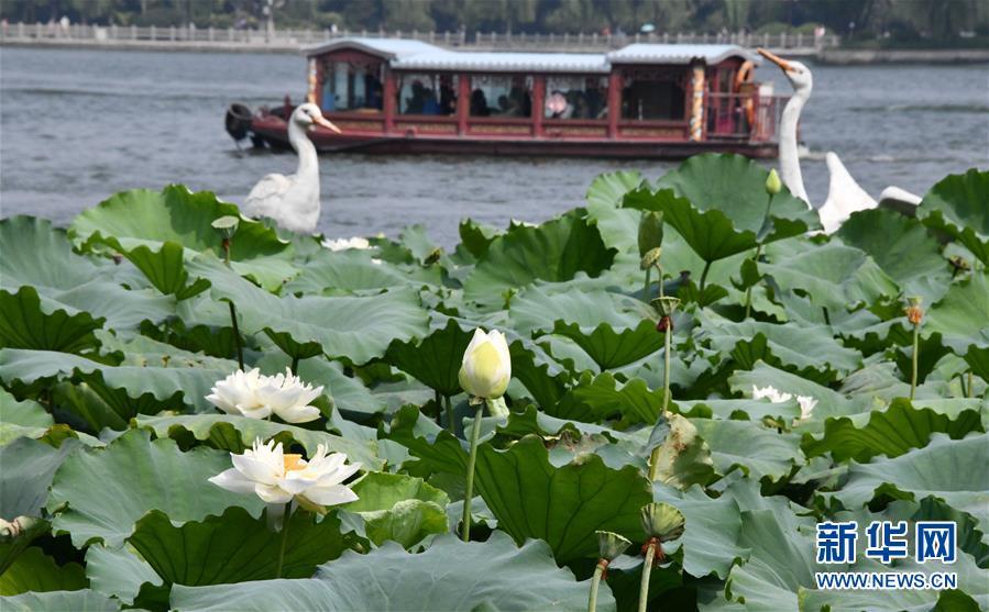 济南市大明湖荷花盛开(8月3日摄)。<br/>