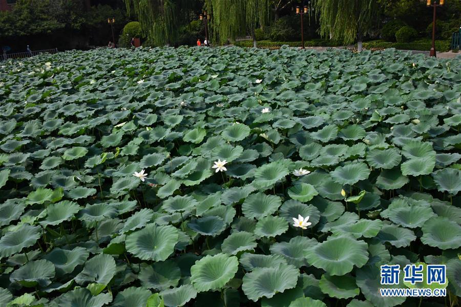 8月3日,游客在济南市大明湖观赏荷花。<br/>