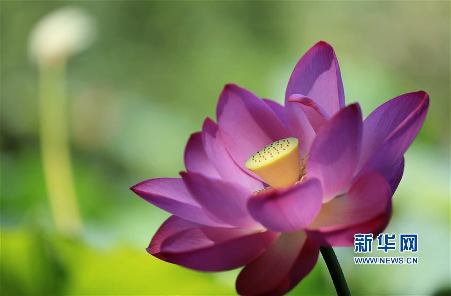 这是8月3日在山东省临沂市沂南县竹泉水利风景区拍摄的荷花。