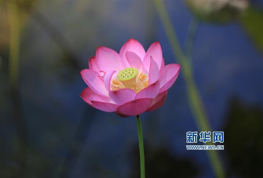 这是8月3日在山东省临沂市沂南县竹泉水利风景区拍摄的荷花。<br/>