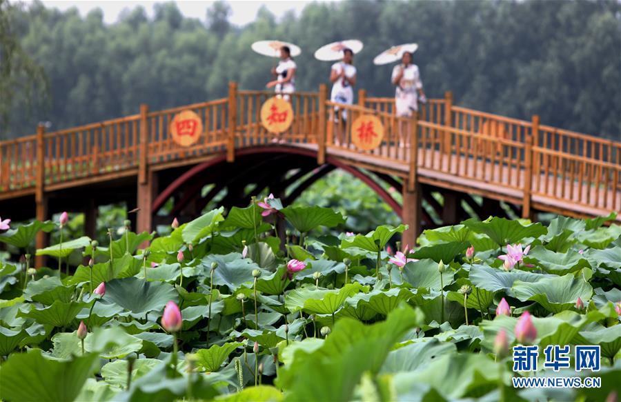 <br/>   8月9日拍摄的河北香河县刘宋镇庆功台村的万亩荷塘景区。