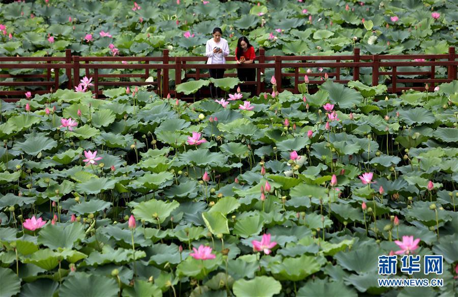 8月9日,游客在河北香河县刘宋镇庆功台村的万亩荷塘景区观赏荷花。近年来,河北香河县利用独特的区位优势,不断探索创新&amp;ldquo;旅游+农业&amp;rdquo;模式,大力发展以荷花为主题的生态旅游观光业,有效激活特色休闲旅游资源潜力。<br/>