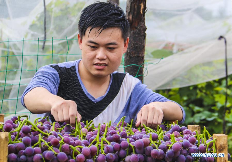 A farmer sells freshly-picked grapes in Bingjiao Village, Yongqing County of north China's Hebei Province, Aug. 14, 2018. Bingjiao, a well-known village for grape planting in Yongqing County, has introduced new species and technologies for the growing of grapes in recent years. There are now over 5,000 Mu (about 333 hectares) of grape fields in the village which can yield a total value of 30 million yuan (about 4.37 million U.S.dollars) every year. (Xinhua/Li Xiaoguo)