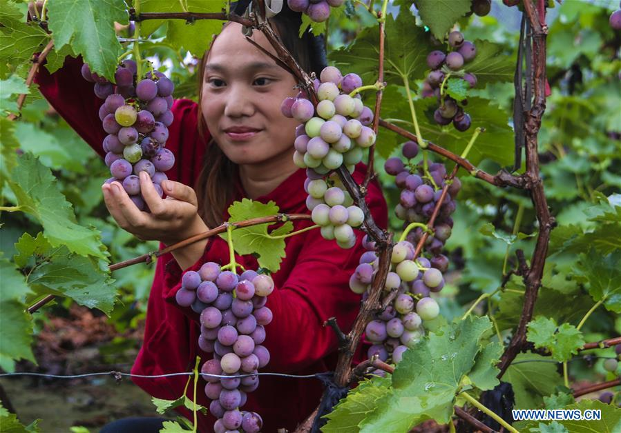 A visitor picks grapes in Bingjiao Village, Yongqing County of north China's Hebei Province, Aug. 14, 2018. Bingjiao, a well-known village for grape planting in Yongqing County, has introduced new species and technologies for the growing of grapes in recent years. There are now over 5,000 Mu (about 333 hectares) of grape fields in the village which can yield a total value of 30 million yuan (about 4.37 million U.S.dollars) every year. (Xinhua/Li Xiaoguo)<br/>