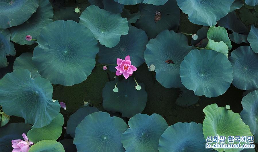 장쑤 양저우: '말복'박두, 그림처럼 아름다운 가을 연꽃