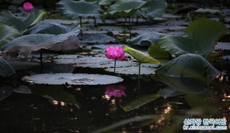 8월14일, 양저우(揚州)시 수강-서우시후(蜀岡-瘦西湖) 관광명승지의 연못에는 연꽃이 활짝 피었다. &amp;lsquo;말복&amp;rsquo;이 가까워지자 장쑤성(江蘇) 양저우시 수강-서우시후 내에는 연꽃이 만발하여 아름다움을 뽐내며 시민들과 관광객들의 눈길을 끌었다. [촬영/신화사 기자 멍더룽(孟德龍)]<br/>