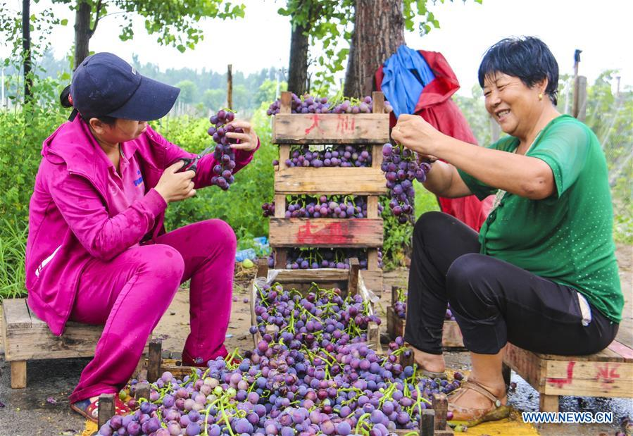 Farmers pack freshly-picked grapes for sale in Bingjiao Village, Yongqing County of north China's Hebei Province, Aug. 14, 2018. Bingjiao, a well-known village for grape planting in Yongqing County, has introduced new species and technologies for the growing of grapes in recent years. There are now over 5,000 Mu (about 333 hectares) of grape fields in the village which can yield a total value of 30 million yuan (about 4.37 million U.S.dollars) every year. (Xinhua/Li Xiaoguo)<br/>