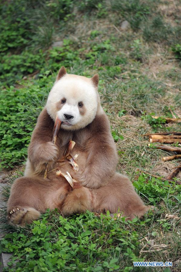 Qizai, a rare brown and white giant panda, eats bamboo shoots at Shaanxi rare wild animals rescuing and raising research center in Xi'an, northwest China's Shaanxi Province, Sept. 7, 2018. Qizai belongs to a subspecies that are more commonly referred to as Qinling pandas in reference to the isolated Qinling Mountains where they have been spotted. (Xinhua/Zhang Bowen)