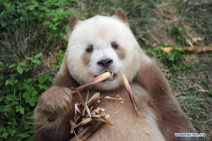 Qizai, a rare brown and white giant panda, eats bamboo shoots at Shaanxi rare wild animals rescuing and raising research center in Xi'an, northwest China's Shaanxi Province, Sept. 7, 2018. Qizai belongs to a subspecies that are more commonly referred to as Qinling pandas in reference to the isolated Qinling Mountains where they have been spotted. (Xinhua/Zhang Bowen)<br/>