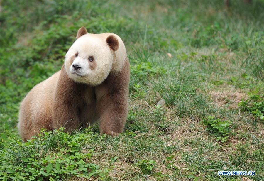 Qizai, a rare brown and white giant panda, is seen at Shaanxi rare wild animals rescuing and raising research center in Xi'an, northwest China's Shaanxi Province, Sept. 7, 2018. Qizai belongs to a subspecies that are more commonly referred to as Qinling pandas in reference to the isolated Qinling Mountains where they have been spotted. (Xinhua/Zhang Bowen)<br/>