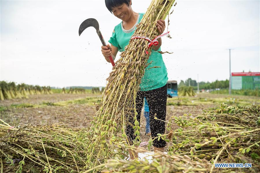 <br/>A villager threshes sesame seeds in Pingyu County of Zhumadian City, central China's Henan Province, Sept. 10, 2018. (Xinhua/Cai Yang)<br/>