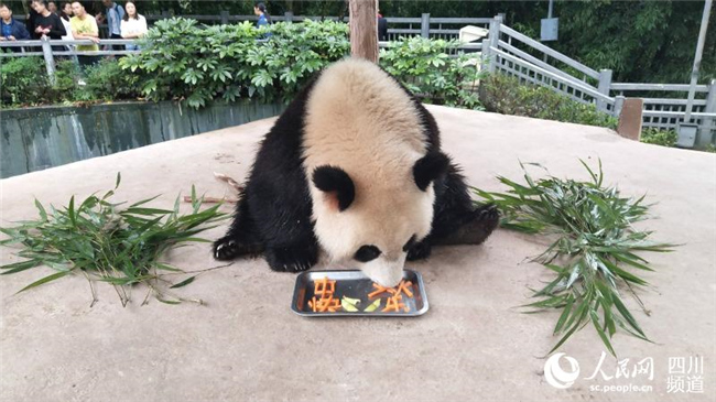 &amp;lsquo;월병&amp;rsquo;을 먹는 판다의 모습[사진: 중국 판다보호연구센터 제공] <br/>