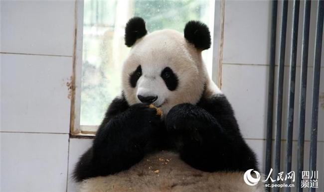 &amp;lsquo;월병&amp;rsquo;을 먹는 판다의 모습[사진: 중국 판다보호연구센터 제공]<br/>  9월 24일 중추절(中秋節: 추석), 당일 오전 중국 판다보호연구센터에 근무하고 있는 사육사가 귀여운 판다들을 위해 특별한 &amp;lsquo;월병(月餅)&amp;rsquo;을 만들었다. 판다들은 사육사가 준비한 &amp;lsquo;월병&amp;rsquo;을 맛있게 먹으며 중추절을 보냈다.<br/>