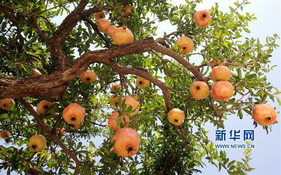 9月24日,山东省枣庄市峄城石榴园的石榴挂满枝头。