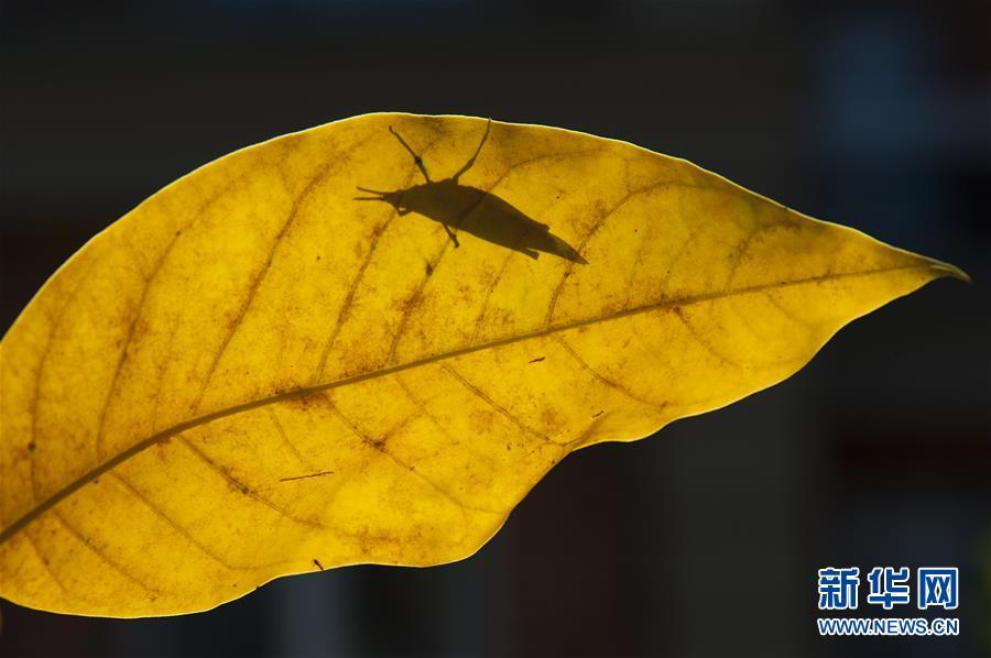 9월 24일 상해(上海)시 송강(松江)구 논밭에서 촬영한 메뚜기<br/>